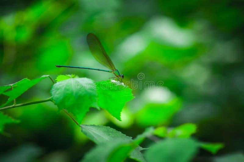 Dragonfly, Agriocnemis pygmaea zdjęcia royalty free