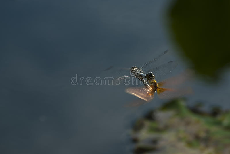 The dragonfly in the air stock image