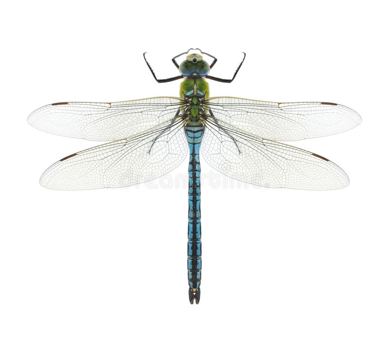 Free Dragonfly Anax Imperator (male) Blue Emperor Stock Images - 41320214