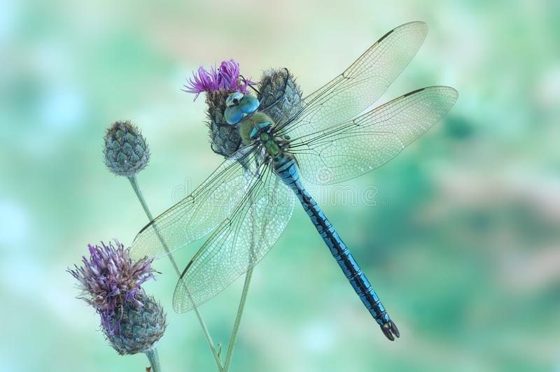 Dragonfly Anax imperator (male) Blue Emperor stock photos