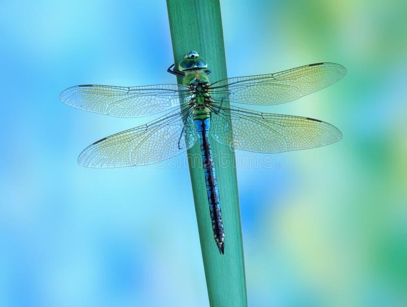 Dragonfly Anax imperatora Błękitny cesarz (kobieta) obrazy stock