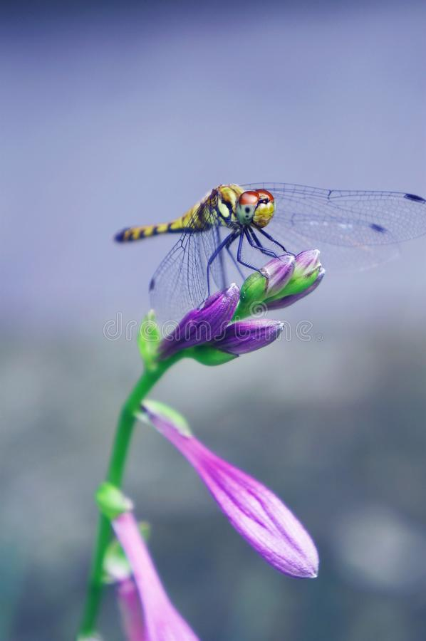 Free Dragonfly And Flower Royalty Free Stock Image - 70828936