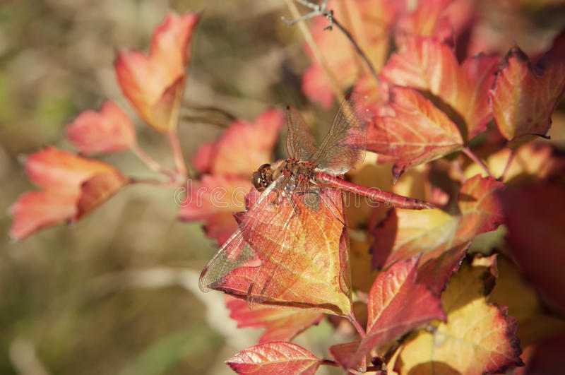 Dragonfly on autumn leaf closeup royalty free stock photography