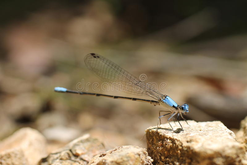 Dragonfly błękit na skale obraz royalty free