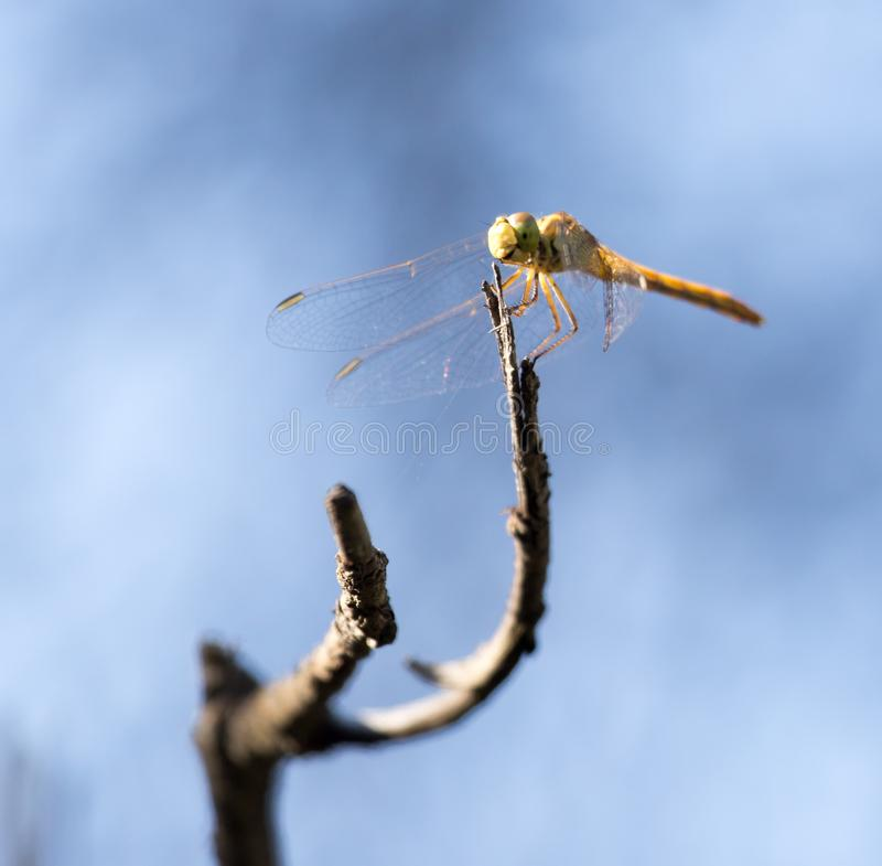 Dragonfly on a background of blue sky royalty free stock images
