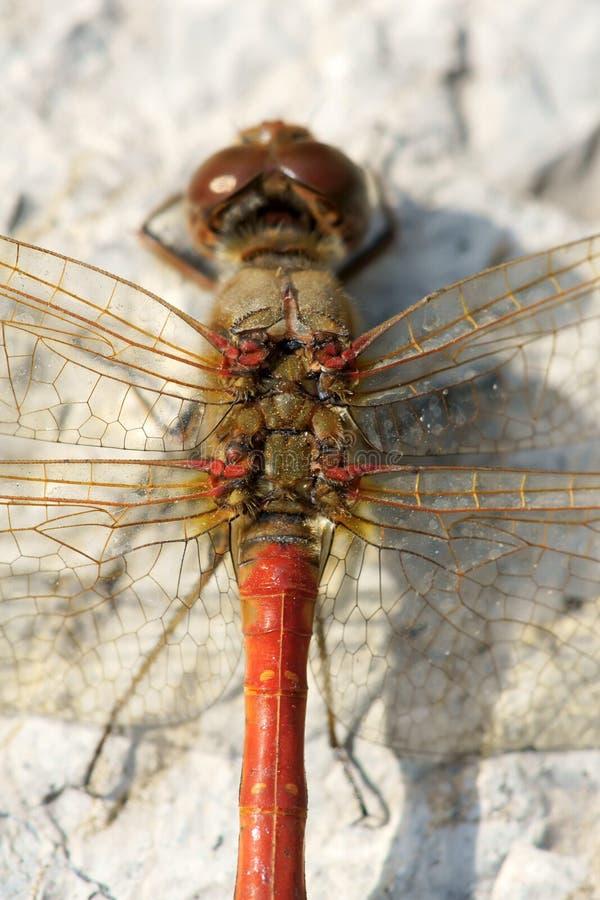 Dragonfly backside stock photo