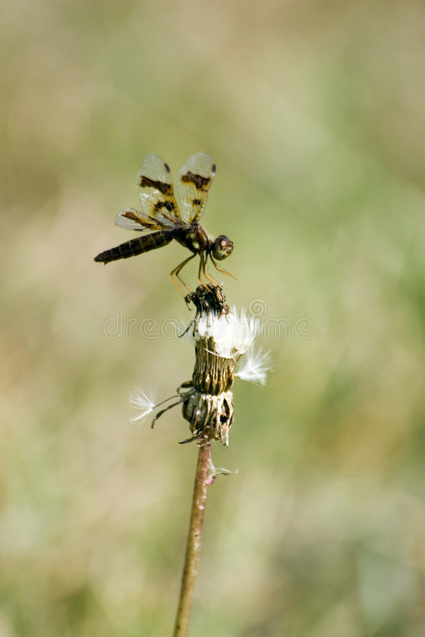 Dragonfly Balance stock photos