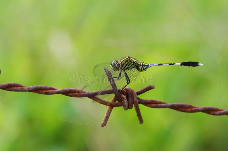 Dragonfly and barbed wire stock photo