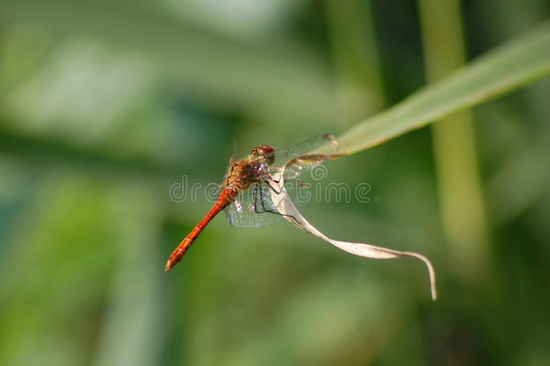 Dragonfly 3 stock images