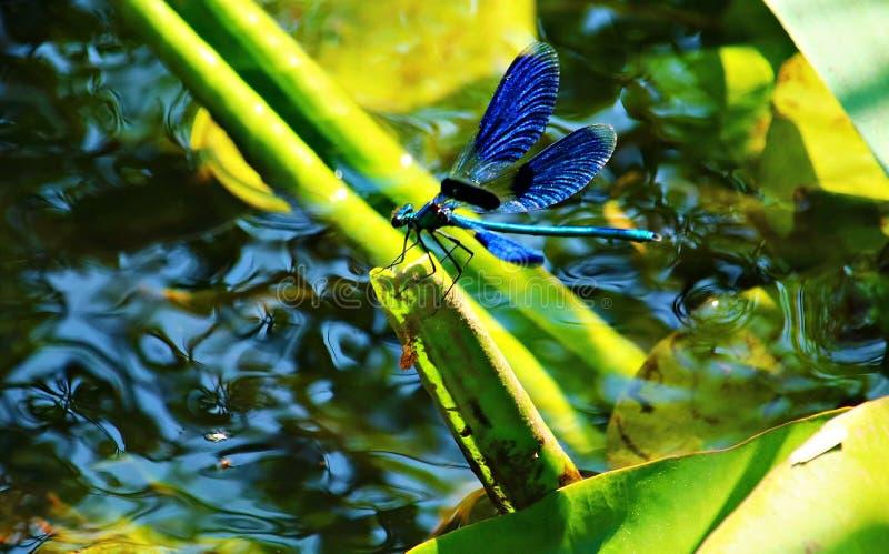 Dragonfly Beauty glitzern im Schornstein des Sees lizenzfreie stockbilder