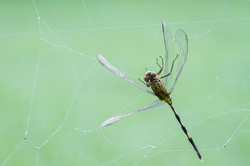Dragonfly being caught in a spiders web on blurred green background, copyspace.  stock photos