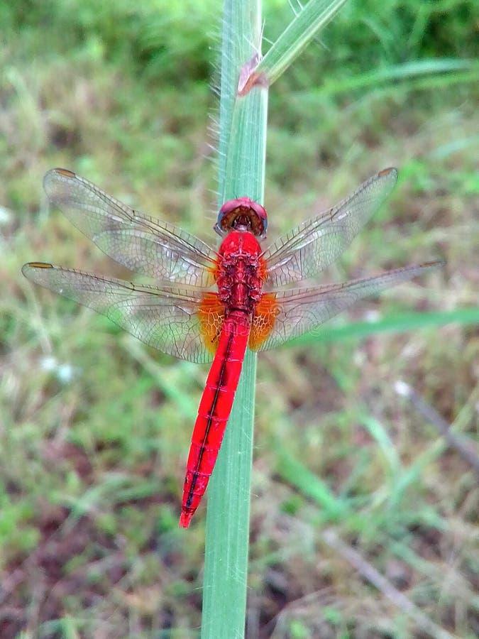 Dragonfly-bild royaltyfria bilder