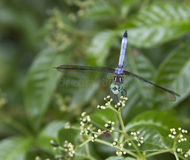 Dragonfly blue royalty free stock photo