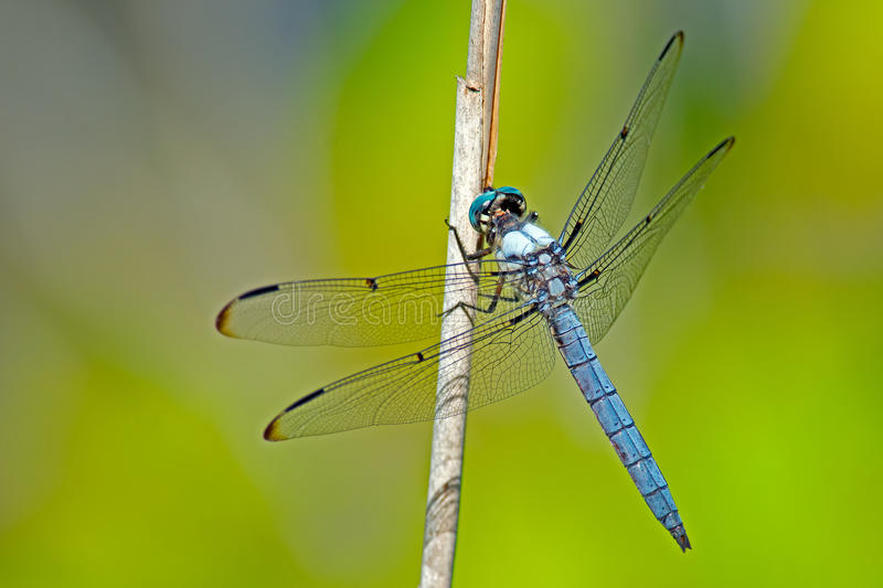 Dragonfly Blue Dasher. A Blue Dasher Dragonfly standing on weed royalty free stock photo