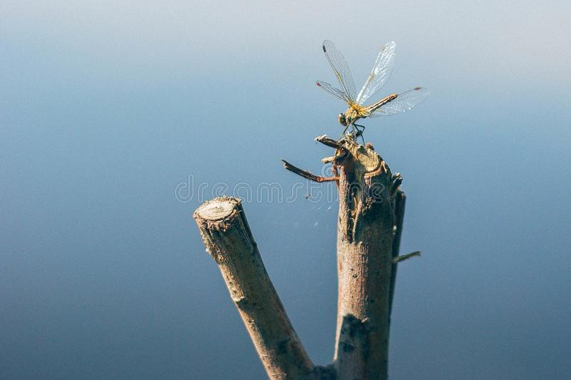Dragonfly on blue water. Dragonfly on the blue water background. a fast-flying long-bodied predatory insect with two pairs of large transparent wings that are royalty free stock photography