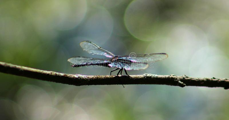Dragonfly on branch stock photography