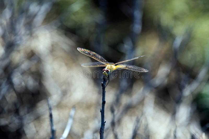 Dragonfly on branch in sunshine. Dragonflys are adapted to a life in the air with well-developed wings. Dragonflys can catch insects during flight, which they royalty free stock image