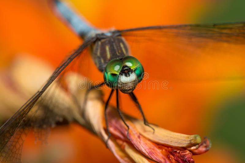 Dragonfly with bright green eyes on orange flower stock photos
