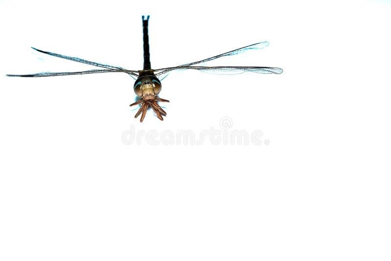 dragonfly bug macro close up image isolated above white background royalty free stock photos