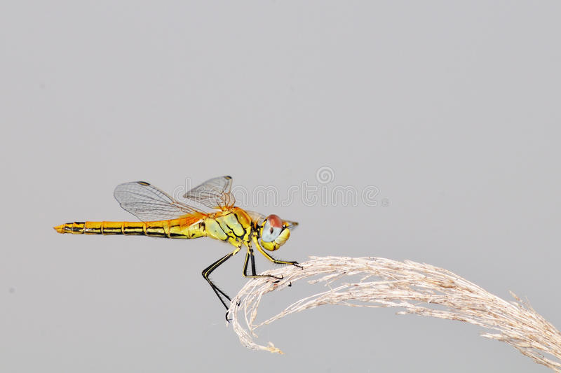 Dragonfly clinging to a reed panacle royalty free stock images