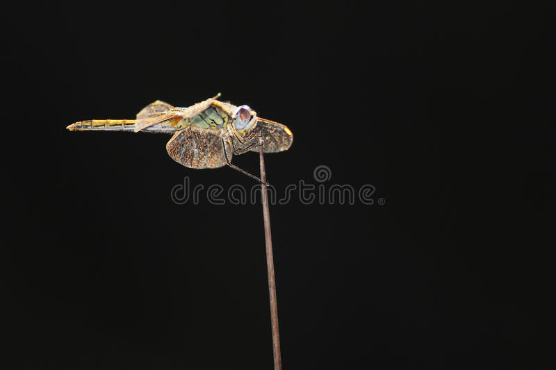 Dragonfly clinging to a twig royalty free stock photography