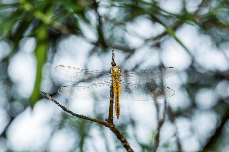 Dragonfly. Close golden color dragonfly on twig for mysterious concept stock photo