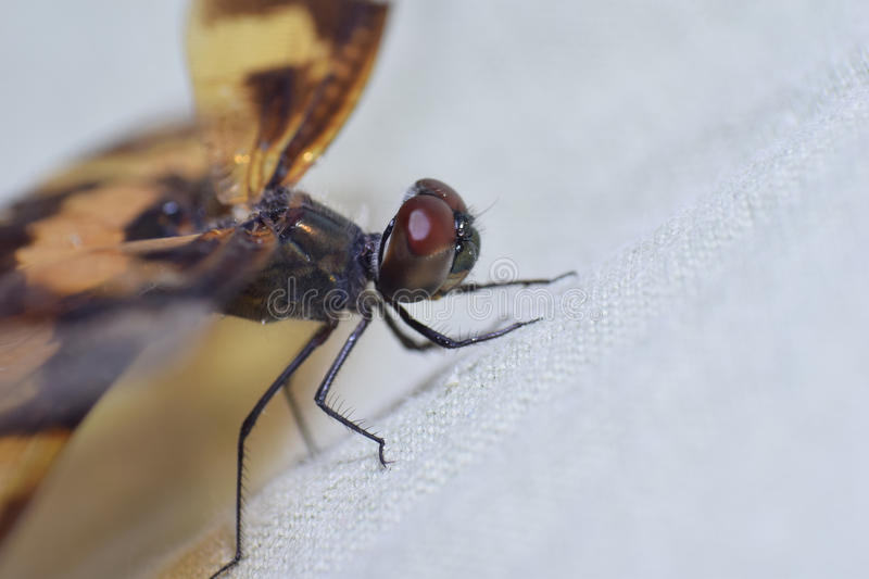 Dragonfly. Close up of dragonfly on cloth royalty free stock image