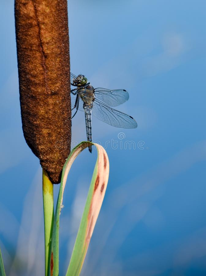 Dragonfly closeup in nature against blue water stock photo