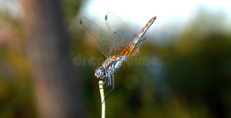 Dragonfly close-up. A close-up photo of a dragonfly sitting on a sheet. Dragonfly blue color in the forest in nature. Flying adder royalty free stock images