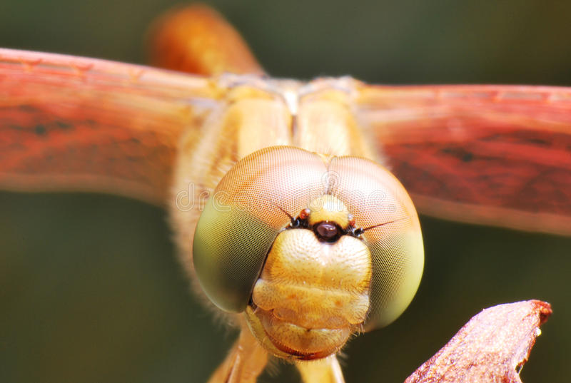 Dragonfly Closeup stock photo