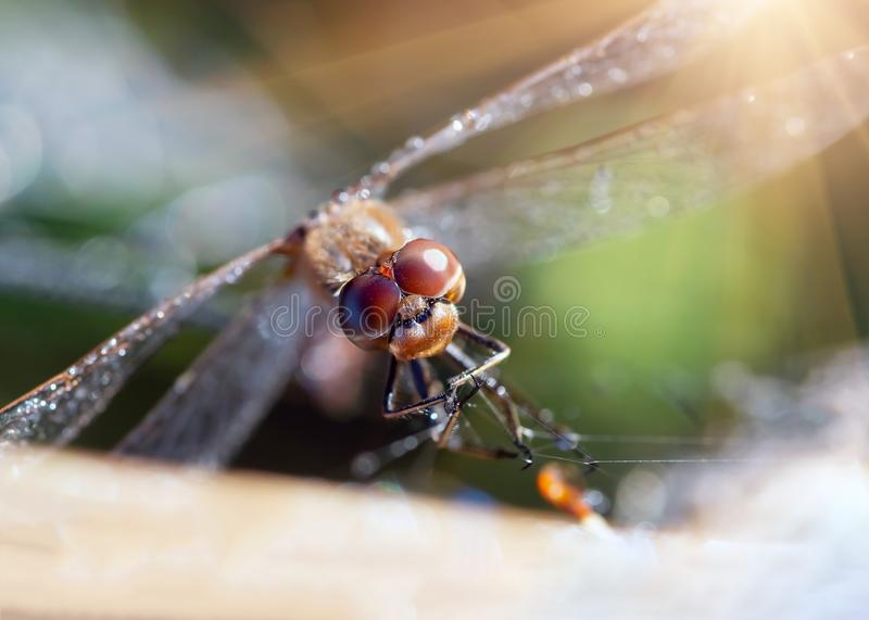 Dragonfly closeup and drops of dew royalty free stock image