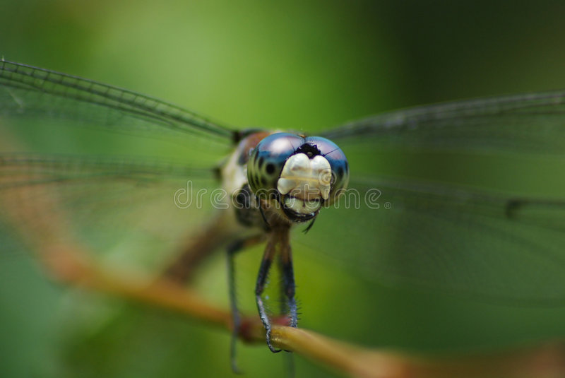Dragonfly Closeup on Green Background royalty free stock photos
