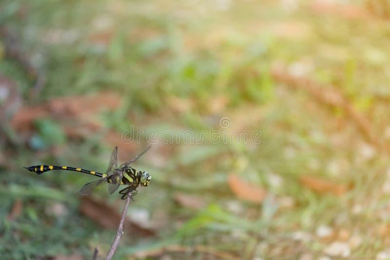 Dragonfly Clubtail на небольшой ветви стоковые изображения