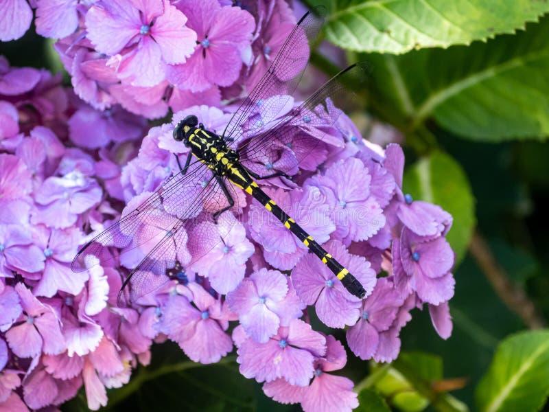 Dragonfly clubtail pertinax Ictinogomphus на цветках 1 гортензии стоковые изображения