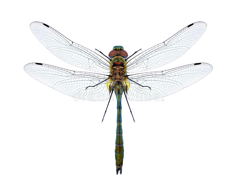 Dragonfly Cordulia aenea stock image
