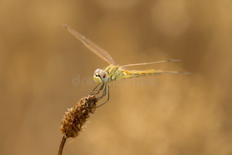 Download Dragonfly czekanie zdjęcie stock. Obraz złożonej z jedzenie - 57651394