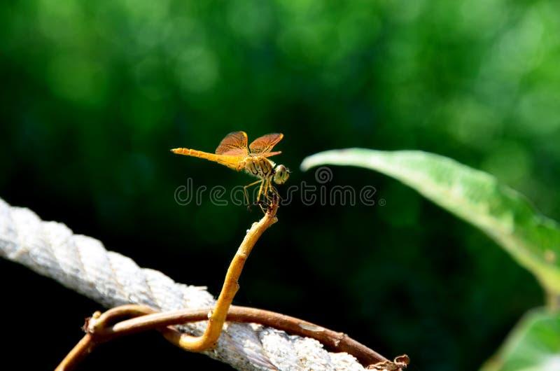 Dragonfly d'oro al Paradise Park, Nong Chet Sai, Ang Thong, Tailandia fotografie stock