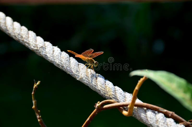 Dragonfly d'oro al Paradise Park, Nong Chet Sai, Ang Thong, Tailandia immagine stock