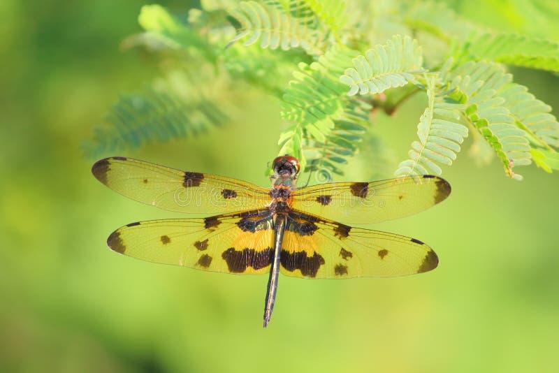 Dragonfly, damselflies fotografia stock