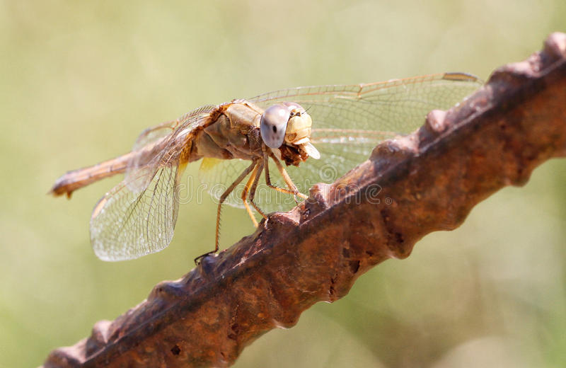 Dragonfly devouring a fly. Dragonfly species standing on a rusty iron while eating a fly (fly wing still on mouth) on a forest in the Spanish balearic island of stock image