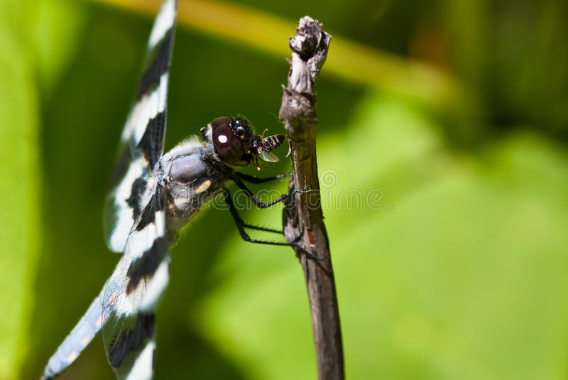 Dragonfly Devouring an Insect. Close Up of a Dragonfly Devouring an Insect royalty free stock photography