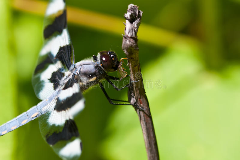 Dragonfly Devouring an Insect. Close Up of a Dragonfly Devouring an Insect royalty free stock images