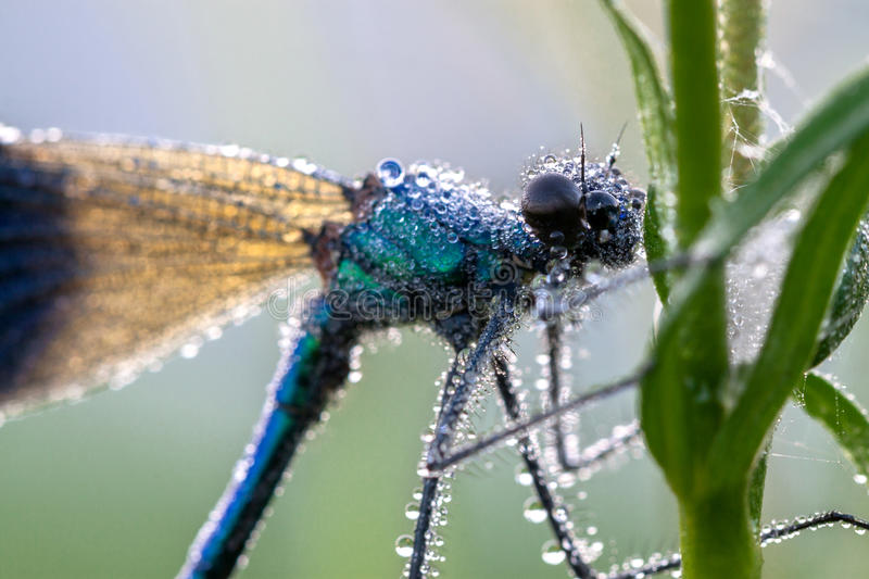 Dragonfly in dew drops stock photography