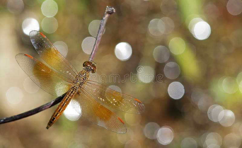 Dragonfly, Dragonflies of Thailand Brachythemis contaminata royalty free stock photography