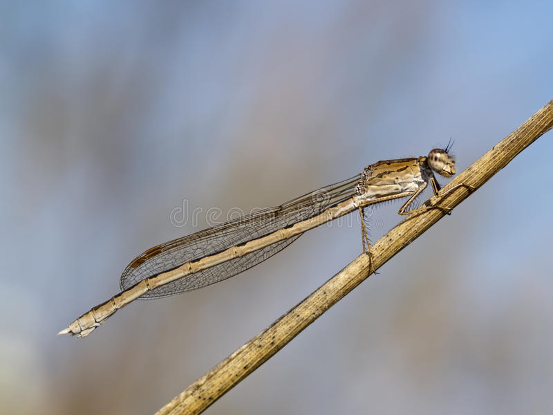 Dragonfly On The Dried Up Stalk Of A Grass Royalty Free Stock Image