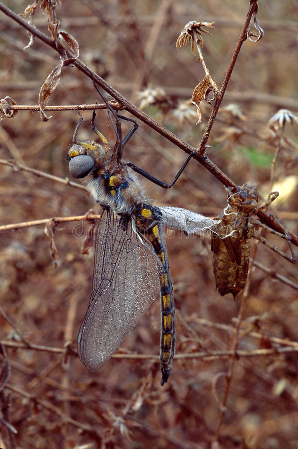 Download Dragonfly Emerging From Naiad State Stock Image - Image: 29058635