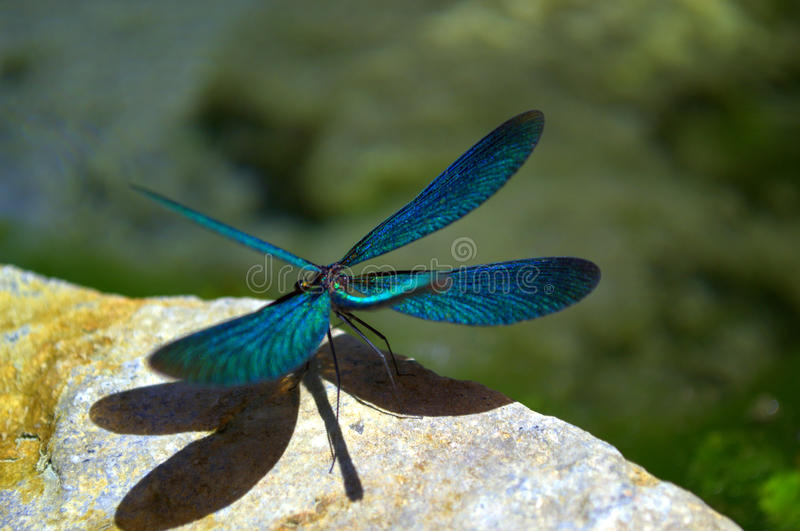 Dragonfly. Exquisite picturesque dragonfly outspread wings perched on rock,blurred background