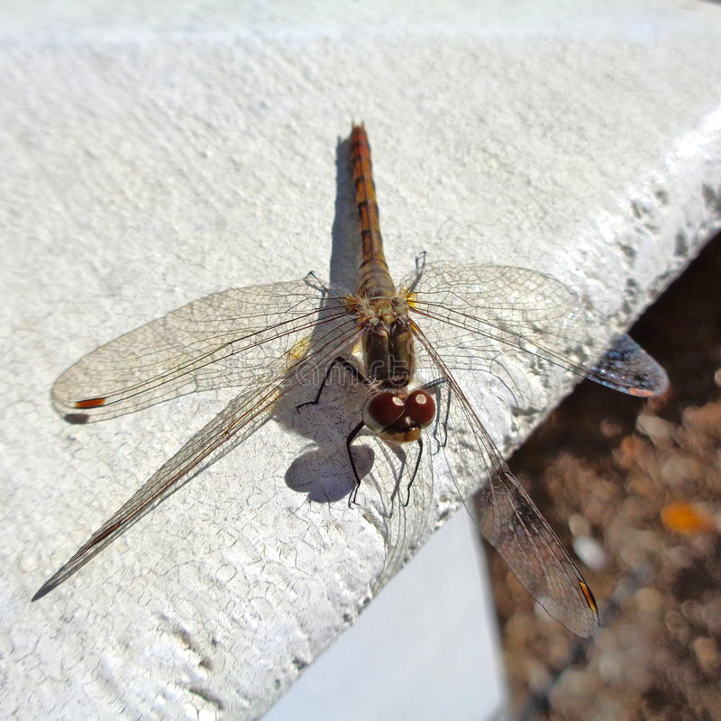 Dragonfly on fencepost stock photography