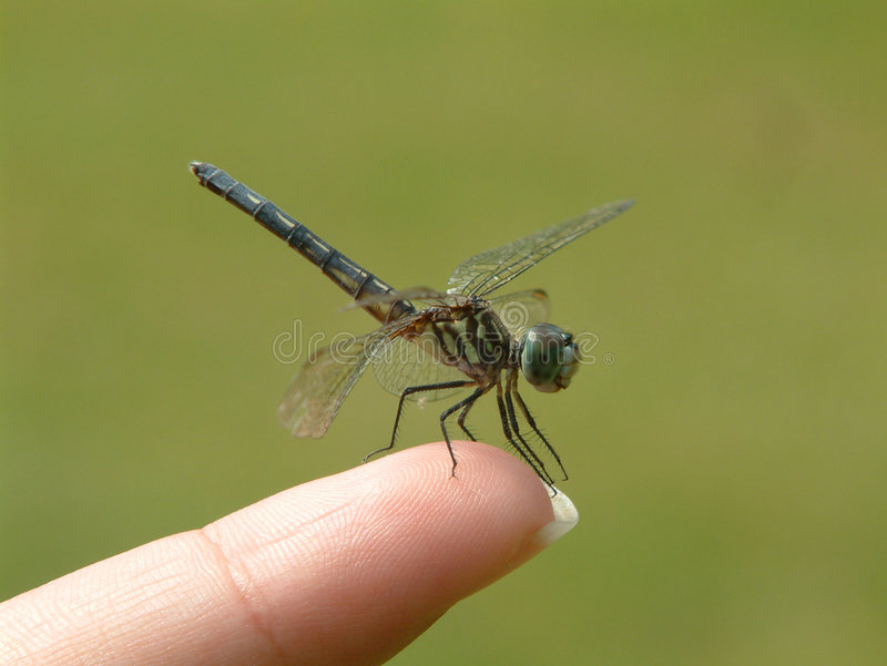 Dragonfly on finger stock photos
