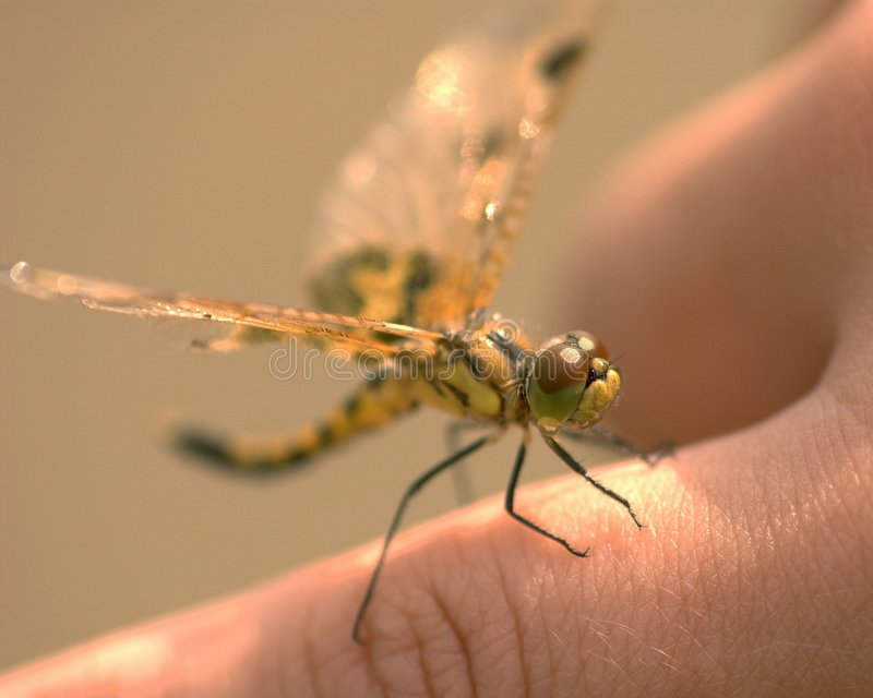 Dragonfly On Finger royalty free stock photography